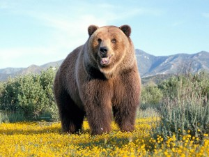 brown_bear