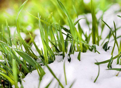 посевы пшеницы