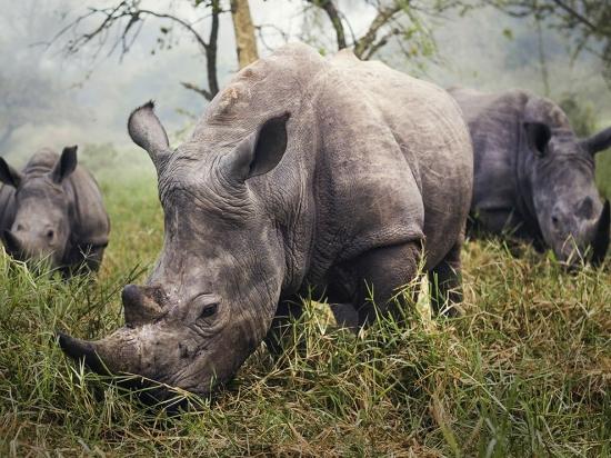 white-rhino-africa