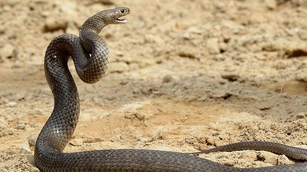 Нигерийский университет зовет на помощь заклинателей змей