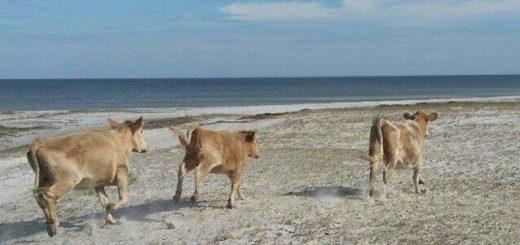 3 вернувшиеся коровы