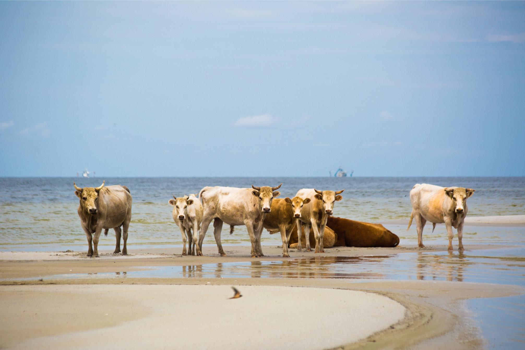 Морские коровы с о.Сидар